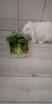 Süßes Widder Kaninchen Rammler