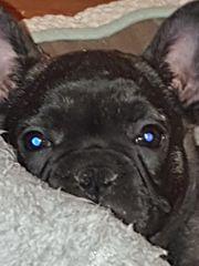 weiblich französische bulldogge