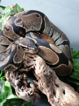 Reptilien, Terraristik - Königspython - Python regius 0 1
