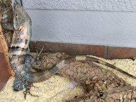 Reptilien, Terraristik - 1 1 Schwarzere Leguane