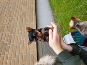 Yorkshire Terrier Welpen abzugeben