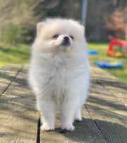 Pomeranian Hündin 4 Monate Farbe