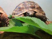Maurische Landschildkröten Nachzuchten 2017 mit