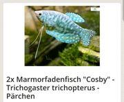 Marmorfadenfisch