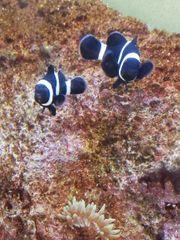 Amphiprion ocellaris blac