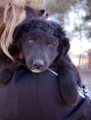 Zuckersüßer Roni Kroatischer Schäferhund Welpe