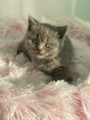 bkh kitten wunderschön und verschmust