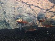 5 Piranhas 200l Aquarium