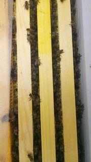Bienen Ableger 2019 Carnica