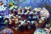 Meerwasser XXL Stylopora oder Ableger