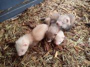 3 junge Frettchen suchen bald