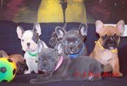 Französische Bulldoggen Welpen in REDFAWN