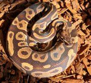 Python Regius Männchen ANGEBOT