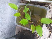 Froschlöffel für den Gartenteich