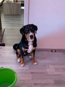 Bild 4 - Appenzeller Sennenhund Deckrüde - Mönchengladbach Heyden