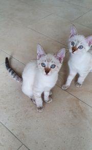Bengal Kitten snow point Abgabebereit