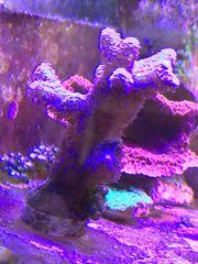 Gesunde und Wachsende Korallen Ableger