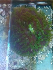 Meerwasser Koralle fungia