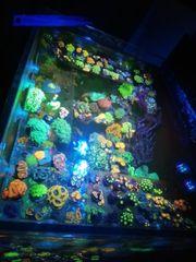 Meerwasser Korallen zoa Zoanthus krustenanemone