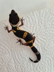 Black Night Pur leopardgecko Baby