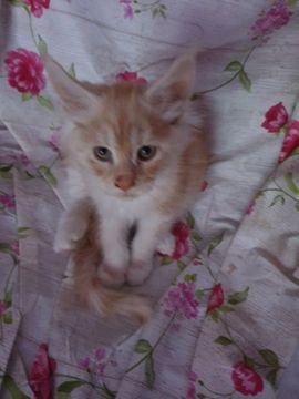 Menkun katze zu verschenken