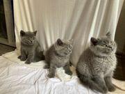 Britisch Kurzhaar Katzen BKH Kitten