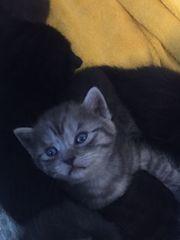 BKH Smoke Tabby Kitten ab