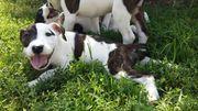 5 süße Old English Bulldog