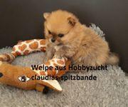 Pomeranian Zwergspitz Super Mini Welpe