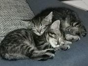 3 Katzenbabys
