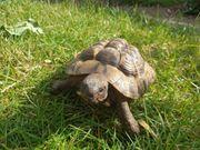 Verkaufe Grichische Landschildkröte männlich