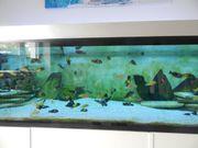 tropheus duboisi maswa jungfische