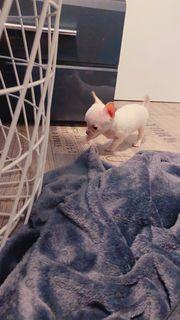 Wunderschöner Mini Chihuahua Welpe