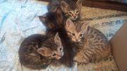 Bengal Kitten Mixe abzugeben