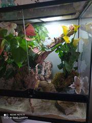 Madagaskar Taggecko mit Exoterrarium und