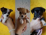 3 süße reinrassige Mini-Chihuahuawelpen