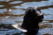 Flat Coated Retriever Deckrüde