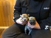 Retro Französische Bulldogge Parson Terrier