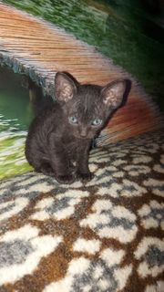 Don Canadian Sphynx Kitten