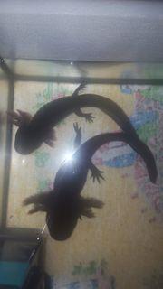 2 Axolot