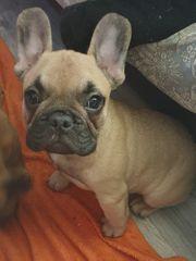 verkaufe französische bulldoggen welpen