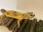 Leopardgecko Weibchen Lemon Frost