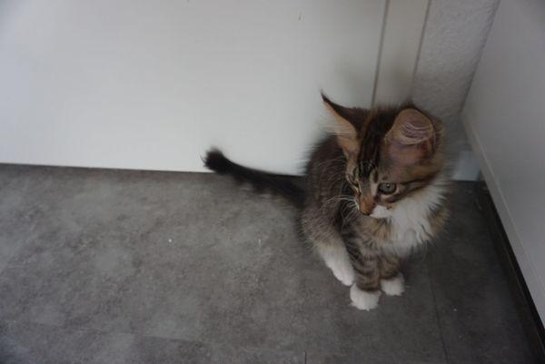 MaineCoon-Katzenbabies