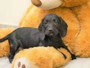 Familien freundliche Labrador x Dackel