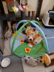 Perser Kitten suchen ein Kuschelsofa