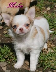 Traumhafte chihuahua Welpen