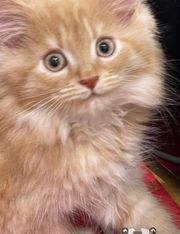 Miau Rotes Maine Coon Katerle