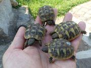 Griechische Landschildkröten Babies Nachzucht 2020