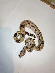 1 1 Boa constrictor constrictor