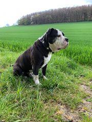 Old english Bulldoge OEB Deckrüde